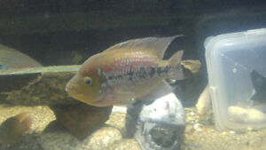 Selling 10 fish/Cichlids..Fairly Priced...