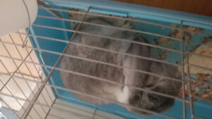 Lapin belier a donner