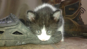 kittens - Part Bombay - Free to good home