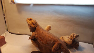 Bearded Dragon/ large male, 3 years old, cage included.