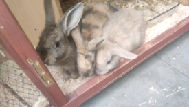 Rabbit's available