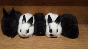 Baby Bunnies for Sale-Only One Left!