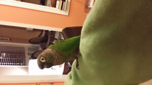 Conure Bird $ 500.00 with Cage