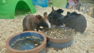 Young Skinny Pig's