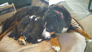 Purebred CKC Registered Bernese Mountain Dog Puppies