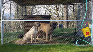 Bull Mastiff x Puppies