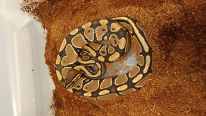 2016 male normal 66% het clown ball python