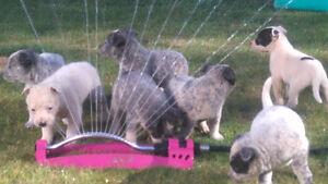 blue heeler / Australian cattle dog puppies
