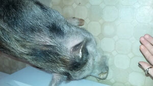 Pet potbelly pig for rehoming!!!