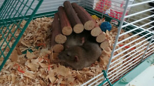 2 lovely Male PET rats needing a new home