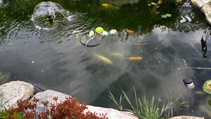 Pond fish, Koi and goldfish For Sale