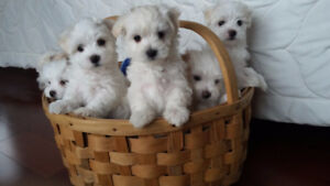 Quality purebred Maltese puppies   and one maltipoo puppy.