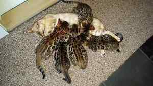 TICA registered bengal babies