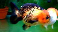 Goldfish For Sales Vancouver BC !