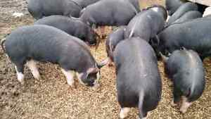 Berkshire grower pigs