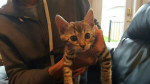 Female Bengal pur breed