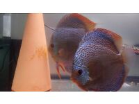 Discus Scarlet Sneak Skin Pair