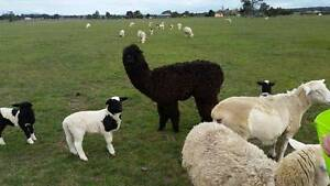 Alpaca Hyacaya - Winter-Male/wether/guardian or pet. Cambrian Hill Golden Plains Preview