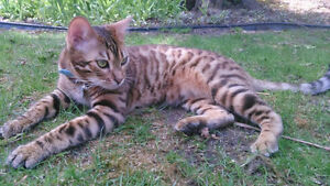 500.00 REWARD LOST YOUNG MALE BENGAL ROSETTE NEUTERED London Ontario image 2