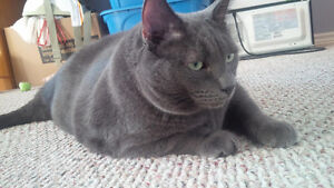 Free to good home - Russian Blue Cat