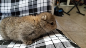 I have cute baby Bunnies for sale.
