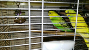 budgies ( breeding pair)