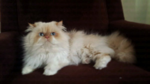 Himalayan Kitty For Sale (RESERVED)