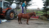 13HH gelding for sale
