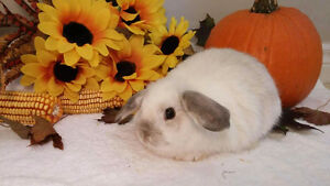 Adorable Holland lop bunnies Kitchener / Waterloo Kitchener Area image 2