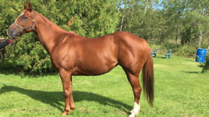 Barrel horse broodmare for sale