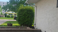 Need one-time round hedge trimmed