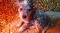 Blue Heeler / Australian Cattle Dog Puppies
