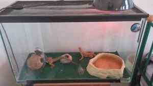 2 bearded dragons + tank + heat lamp+ MORE