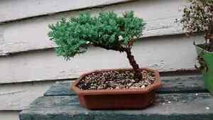 Great beginner Japanese juniper bonsai tree. Sarnia Sarnia Area image 1