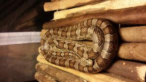 Beautiful  corn snake