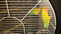 Breeding pair lovebird with cage and stand (DOWNSIZE ASAP)