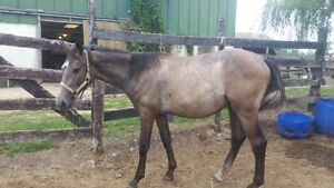 2 hannoverian/oldenburg's weanling filly,  long yearling gelding