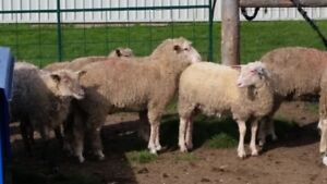 Pasture and Grain Fed Lambs for Sale