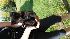 Very adorable kittens-FREE.ONLY 2 MALES LEFT!!! Gatineau Ottawa / Gatineau Area image 3