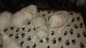 Bichon Frise/ShePoo Puppies For Sale