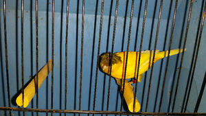canari/ canary/ serin rouge jaune bronze gloster Timbr