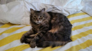 Lost Cat: Mikey $1,000 Reward if found