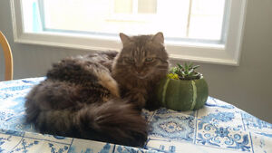 LOST Cat- Domestic Med/Long Haired Tabby - Mississauga area..