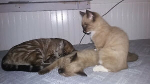 Siamese Ragdoll kittens- NEED GONE ASAP