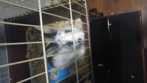Cute adorable friendly bunny forsale 25$$