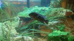african cichlids for sale differnt kinds and sizes 2.50 and up Windsor Region Ontario image 6