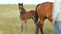Oldenburg cross weanling colt and filly for sale