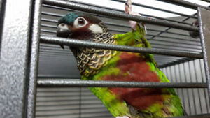Painted Conures - 2 MALES Available