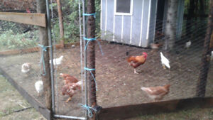 LOOKING FOR LAY HENS