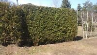 Privacy hedging (white cedars)